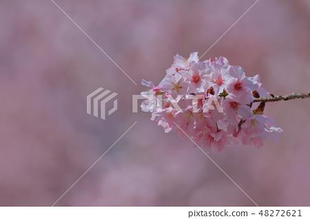 櫻花 48272621