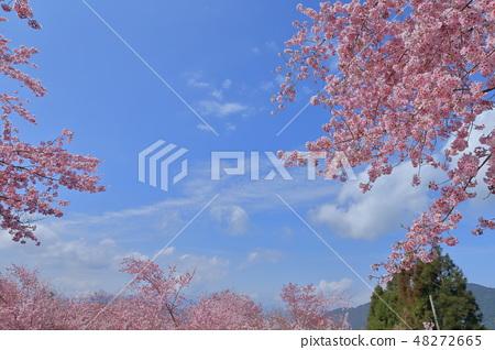 櫻花 48272665