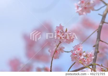 櫻花 48272705