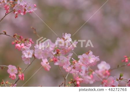 櫻花 48272768
