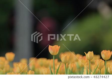 鬱金香,花園,花 48274427