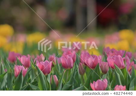 鬱金香,花園,花 48274440