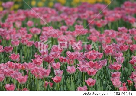 鬱金香,花園,花 48274448
