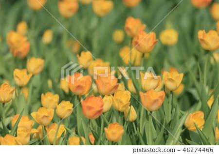 鬱金香,花園,花 48274466