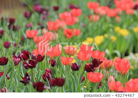 Tulip, garden, flower 48274467