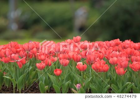 鬱金香,花園,花 48274479