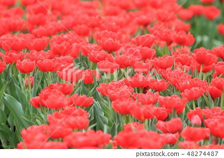 鬱金香,花園,花 48274487