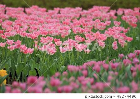 鬱金香,花園,花 48274490