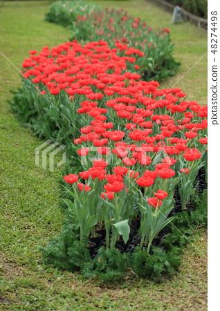 鬱金香,花園,花 48274498