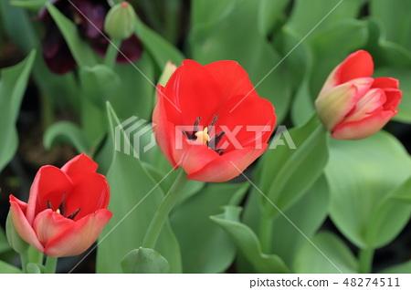鬱金香,花園,花 48274511