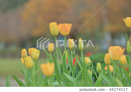 鬱金香,花園,花 48274517