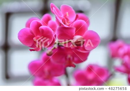 蝴蝶蘭,花朵,花 48275658