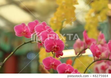 蝴蝶蘭,花朵,花 48275664