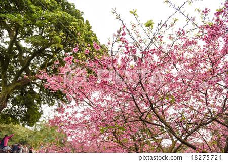 台灣淡水天元宮粉紅色櫻花季 48275724