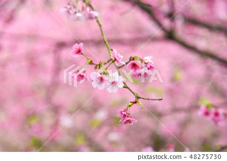 台灣淡水天元宮粉紅色櫻花季 48275730