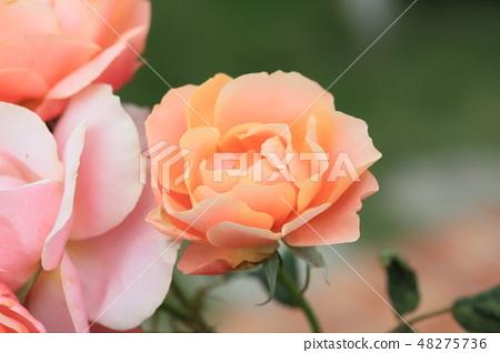玫瑰花,玫瑰,粉色玫瑰 48275736