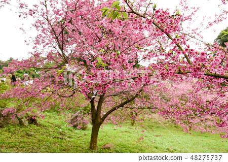 台灣淡水天元宮粉紅色櫻花季 48275737