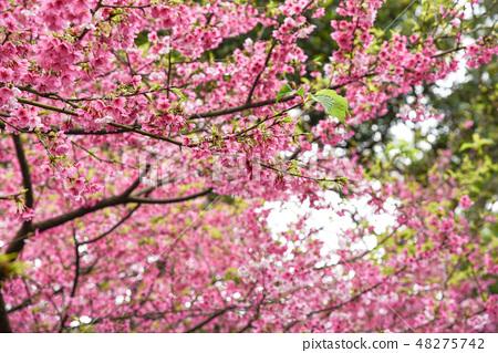 台灣淡水天元宮粉紅色櫻花季 48275742