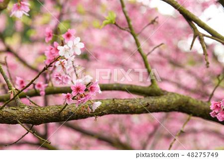 台灣淡水天元宮粉紅色櫻花季 48275749