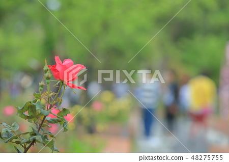 玫瑰花,玫瑰,粉色玫瑰 48275755