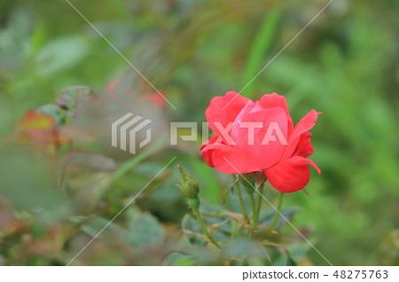 玫瑰花,玫瑰,粉色玫瑰 48275763