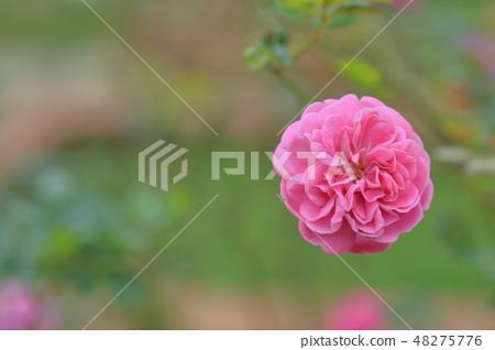 玫瑰花,玫瑰,粉色玫瑰 48275776