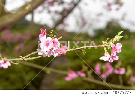 台灣淡水天元宮粉紅色櫻花季 48275777
