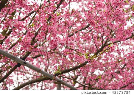 台灣淡水天元宮粉紅色櫻花季 48275784