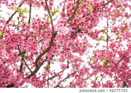台灣淡水天元宮粉紅色櫻花季 48275785