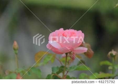 玫瑰花,玫瑰,粉色玫瑰 48275792