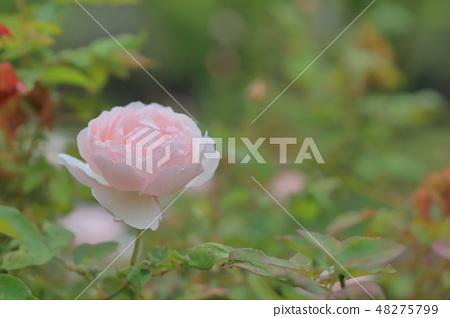 玫瑰花,玫瑰,粉色玫瑰 48275799