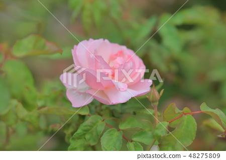 玫瑰花,玫瑰,粉色玫瑰 48275809