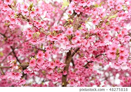 台灣淡水天元宮粉紅色櫻花季 48275818