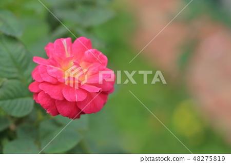 玫瑰花,玫瑰,粉色玫瑰 48275819