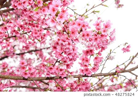台灣淡水天元宮粉紅色櫻花季 48275824