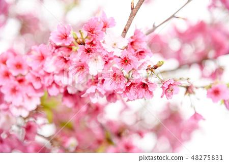 台灣淡水天元宮粉紅色櫻花季 48275831