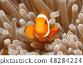 Clown Anemonefish, Amphiprion percula 48284224