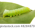 Green beautiful caterpillar on leaf close up 48284879