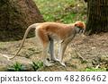 파 타스 원숭이 48286462