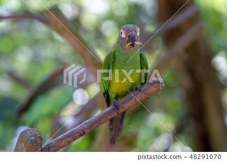 多彩的鸚鵡 48291070