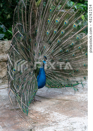 公孔雀傳播的羽毛 48292154