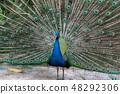 公孔雀傳播的羽毛 48292306