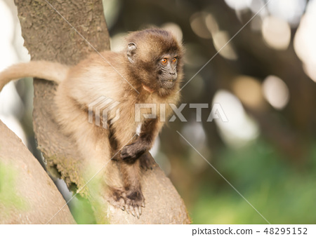 Close up of a baby Gelada monkey in a tree 48295152
