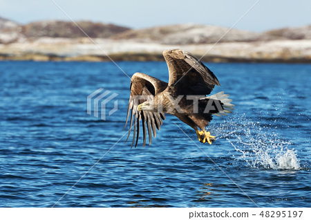 White-tailed sea Eagle catching a fish 48295197