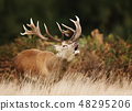 Red deer stag bellowing during rutting season 48295206