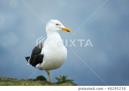 Great black backed gull against blue background 48295238