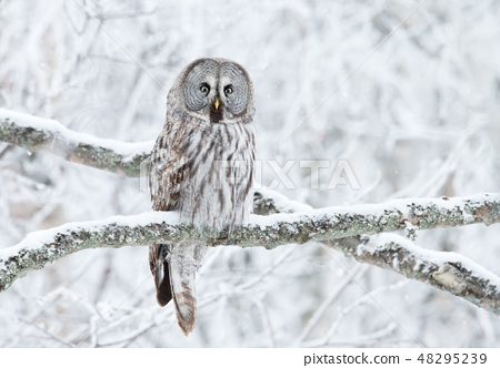 Great Grey Owl perched in a tree in winter 48295239