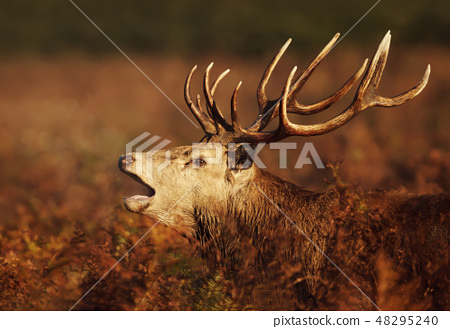 Red deer stag calling during rutting season 48295240