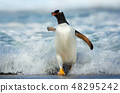 Gentoo penguin coming on shore from the ocean 48295242