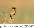 Stonechat perched against clear background 48295245